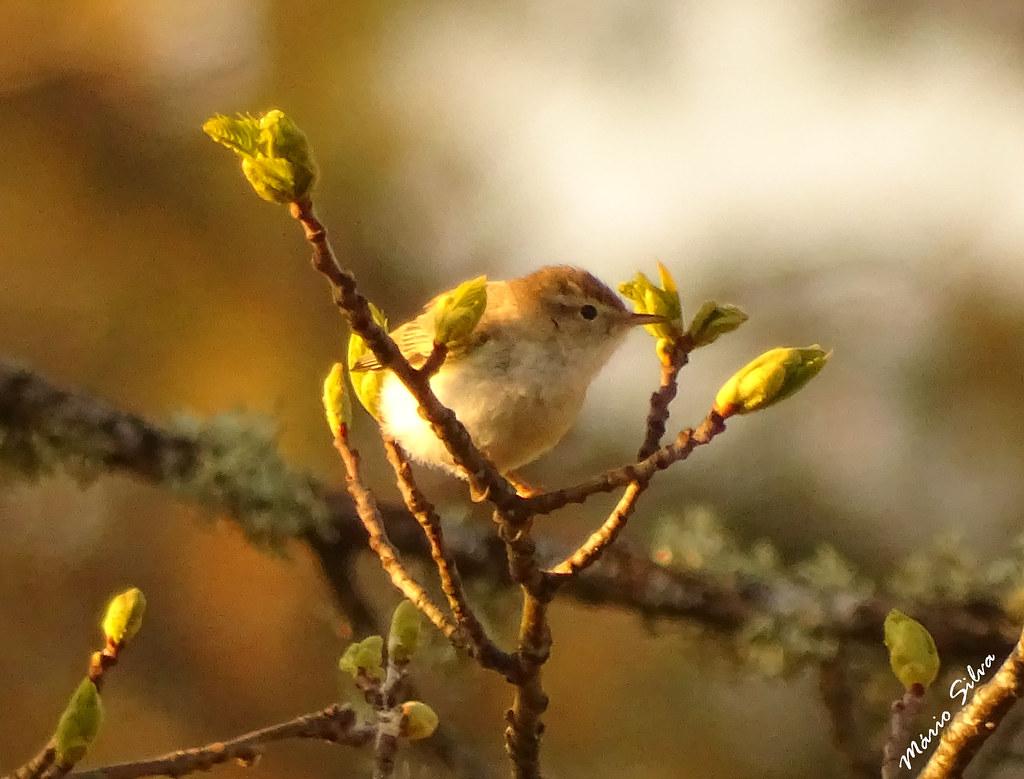 Águas Frias (Chaves) - ... pequena ave canora, entoando pelos ares toadas de primavera ...
