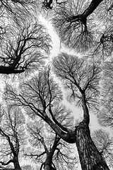 *** (mksheider) Tags: tree travel sky bw bare trunk parkbench copse birchtree