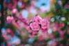 ILCE-7M2-09520-20180512-1249 // Nikon Nikkor-SC Auto 55mm 1:1.2 (Otattemita) Tags: 55mmf12 florafauna nikonaid nikonnikkorscauto55mmf12 nikonnonai nikonpreai nipponkogaku fauna flora flower nature plant wildlife nikonnikkorscauto55mm112 sony sonyilce7m2 ilce7m2 55mm cnaturalbnatural ota