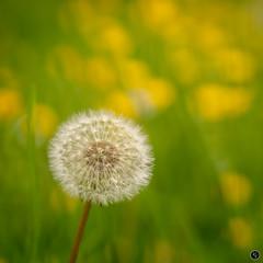 Almost time (Mr Aylesbury) Tags: 2018 countryside spring macro flowers buttercups seeds lumix closeup dmcgx8 olympus dandelion karlvaughan panasonic