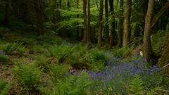 A Short Timelapse in a Woodland in North Wales (PSHiggins) Tags: may spring green woodland woods wales bangor bluebells timelapse time ferns bracken trees cymru oak beech hornbeam deciduous nikon forest natural lush rich
