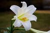 Lily (E. Aguedo) Tags: lily white warwick spring garden bokeh macro nature flower