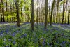 Bluebells and Sunflare (Carl Mick) Tags: flora ancientwoodlands clumberpark forest woods sunflare shadows trees bluebells ngc