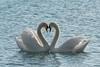 Love <3 (Claudia Brockmann) Tags: natur nature see sea attersee österreich austria tiere tier animal animals schwan schwäne wildlife water wasser explore