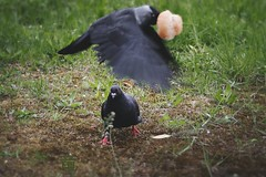 """hey you thief give me back my bun!"", shouted angry pigeon to the escaping jackdaw (Ola 竜) Tags: bread bun black birds pigeon jackdaw rook food breadroll green grass nature wildlife animal portrait flying wings bird flight motion dove animals action manualfocus tessar1354 rollei manuallens vintagelenses fujifilmxt10 crow"