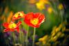 Poppies in the Spring (d heinz) Tags: mohnblumen frühling poppy poppies flowers blumen bokeh swirl diylens