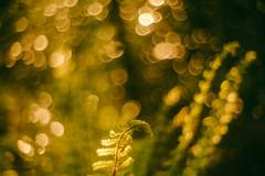 Fern Bokeh (Glavind Strachan Photography) Tags: bokeh bokehlicious pentacon legacylens manuallens sonya7r sony vintagelens fern woodland