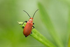 Red-headed cardinal beetle (Daniel James Greenwood) Tags: southdownsnationalpark southdowns danielgreenwood danielgreenwoodphotography