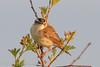 Sedge Warbler (Dougie Edmond) Tags: monkton scotland unitedkingdom gb bird warblers birds nature water burn wildlife canon early morning sun