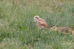 Burrowing Owl watches a passing hawk