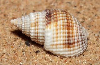 Mud snail (Nassarius (Niotha) albescens gemmuliferus)
