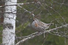Hazelhoen -  Hazel Grouse -  Tetrastes bonasia (marcdeceuninck) Tags: nature natuurfotografie finland vogels birds hazelhoen hazelgrouse tetrastesbonasia