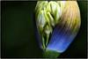 Nature imitating Art. (drpeterrath) Tags: canon eos5fdsr 5dsr closeup macro plant flower alien color moody nature
