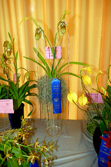 """Orchid Society of California """"Mothers' Day Weekend Orchid Show & Sale; Phragmipedium orchid 5-18 (nolehace) Tags: phragmipedium orchid 518 orchidsocietyofcalifornia mothersday show sale society california mothers day weekend showsale 2018 flower bloom plant spring nolehace sanfrancisco oakland lakemerritt fz1000"""