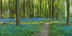 Bluebell Path (James Whitlock Photography) Tags: europe uk england hampshire winchester micheldever woods forest blue bells bluebells beech sunrise sun rays trees leaves nikon d810 gitzo