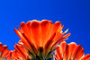 Eternal Light of Being (oybay©) Tags: hedgehog cactus flower macro flores flora fiori blumen flowers hedge hog arizona spring sky nature natural color colors naturesfinest plant outdoor cactusflower bright colorful upclose spring2018