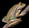 Ranoidea raniformis (Alexandra, 2005) (ROCKnVOLE Photography) Tags: ranoidea litoria raniformis bell frog southern alexandra newzealand amphibian