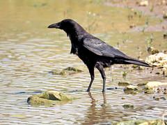 Corneja común (Corvus corone)  (55) (eb3alfmiguel) Tags: aves pájaros passeriformes corvidae corneja común corvus corone