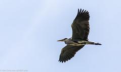 9Q6A3132 (2) (Alinbidford) Tags: alancurtis alinbidford brandonmarsh greyheron nature wildbirds wildlife