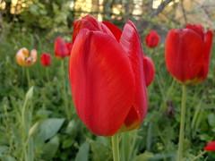 2018-04-19-13840 (vale 83) Tags: tulip nokia n8 friends coloursplosion colourartaward