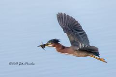 Green Heron with fish (bananaman33428) Tags: evergladesphotographicsociety birdwatcher greenheron flight greencay