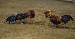 Cock fighting a7iii-1-11 (walterkolkma) Tags: a7m3sonya7iiiphilippinesmanilala loma cockpitcockfightingcock fighting gambling