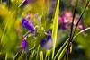 18-05-20 nah blau viol bok sonauf dsc09568-1 (u ki11 ulrich kracke) Tags: blütelila bokeh durchblick gegenlicht iris nah sonnenaufgang vertikale vorhang