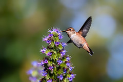 A Young Allen's (Patricia Ware) Tags: allenshummingbird birdsinflight california canon ef400mmf4doisiiusmlens echiumcandicans handheld huntingtonbeach prideofmadeira selasphorussasin ©2018patriciawareallrightsreserved unitedstates us specanimal sunrays5