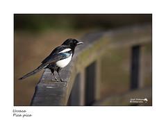 Urraca - Pica pica - Common magpie- Pega (xosedc) Tags: urraca picapica commonmagpie pega aves birds canon españaspainavesdeespañaavesmarinasavespeninsulaibericaavesmigratoriasnaturalezafotografianaturalezanature naturephotographyfaunasilvestre wildlifefauna faunaiberica wildlifephotography observacióndeaves