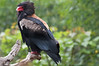 Eagle. (LisaDiazPhotos) Tags: africa rocks eagle lisadiazphotos sandiegozoo sandiegozooglobal san sandiegozoosafaripark sandiegosafaripark sdzsafaripark sdzoo sdzsp
