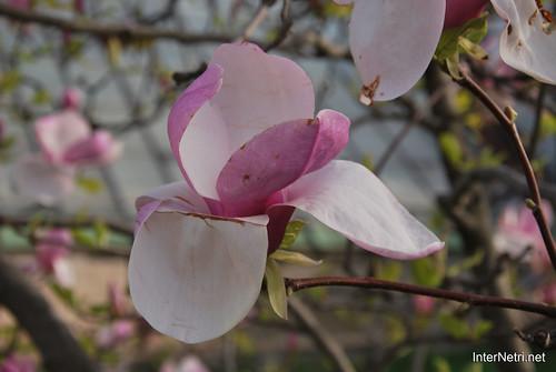 Ботанічний сад імені Гришка Цвітуть магнолії InterNetri  Ukraine 183
