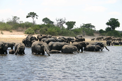 Elephants in Botswana, Chobe National Park by i_pinz.