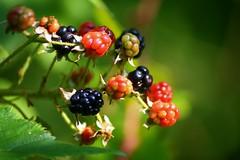 Blackberries (bigd0011768) Tags: bokehphotooftheday bokehsoniceaugust bokehsoniceaugust11