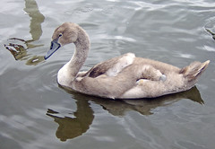 Cygnet (nicky's) Tags: nationaltrust clumberpark 12aug2006