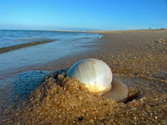 Moonsnail - Lighthouse Beach, Chatham, MA. (Chris Seufert) Tags: lighthouse beach ma photo photos snail clam chatham shellfish cape cod whelk moonsnail 5photosaday
