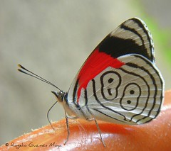 Mariposa 88 - Diaethria Clymena Butterfly (Rogelio Guzmn-Moya) Tags: red macro butterfly rojo bravo bokeh papillon 88 mariposa puebla lepidopter fwd farfalla 100club schmetterling  perhonen sonydsct1 sierranorte barboleta lepidpteros motyl   lepidptero   10000views inspiredbylove bosquedeniebla 88butterfly diaethria diaethriaclymena huauchinango nexapa specanimal rogelioguzmnmoya bokehsoniceaugust abigfave bokehsoniceaugust17 philidor2001 diaethriaclymenabutterfly mariposa88 butterfly88 sierranortedepuebla top20butterflies leptiri frhwofavs elegantgroup diaethriaanna bosquemesfilo morethan10000views explore129demayo2007 cffaa diaethriaaanna faunadelbosquemesfilo