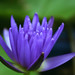 "Tropical Water Lily ""Midnight"""