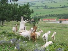 IMG_6645 (Large) (mladenradakovic) Tags: bosnia goats bosna koze