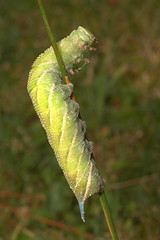 "Eyed Hawkmoth Caterpillar (Smerinthas(1) • <a style=""font-size:0.8em;"" href=""http://www.flickr.com/photos/57024565@N00/221838241/"" target=""_blank"">View on Flickr</a>"