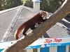Red Panda (sitharus) Tags: red newzealand zoo panda raw redpanda wellington e300