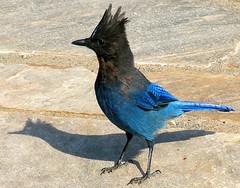 Me and My Shadow! (shesnuckinfuts) Tags: blue bird jay bluejay wa coolest animalplanet stellersjay mtrainiernationalpark aphelocomacalifornica featheryfriday saywa experiencewa animaladdiction animalkingdomelite shesnuckinfuts washingtonstatewildlife wstww07
