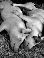 Sleeping Pigs (deatonstreet) Tags: sleeping bw love animals couple state kentucky spooning fair pigs louisville cuddling