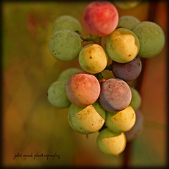 fruit of the vine (jaki good miller) Tags: fruit vineyard interestingness quality cluster vine explore grapes bunch exploreinterestingness jakigood edibleart top500 explorepage explored explorepages fivestarsgallery fsgdiner abigfave potwkkc2 berriesset