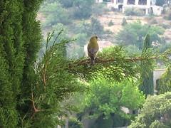 breakfast buddy (franglo) Tags: france bird window cypress provence esparrondeverdon