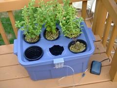 Hydroponic Stevia Garden