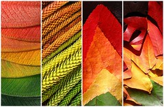 leaf rainbows (*omnia*) Tags: topf25 leaves topv111 collage leaf rainbow fdsflickrtoys colours spectrum mosaic colourful 4variations arcobaleno arcenciel