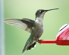 The Hummingbird Stretch (Momba (Trish)) Tags: bird topv111 ilovenature wings topv333 nikon hummingbird nikond70 nikkor momba interestingness3 i500 nikonstunninggallery specanimal exploretop20 animalkingdomelite explore31august2006