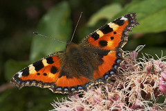 """Small Tortoiseshell butterfly (aglais urticae) • <a style=""""font-size:0.8em;"""" href=""""http://www.flickr.com/photos/57024565@N00/230022226/"""" target=""""_blank"""">View on Flickr</a>"""