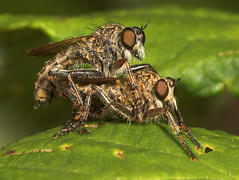 """Mating Robberflies (dysmachus trigonus) • <a style=""""font-size:0.8em;"""" href=""""http://www.flickr.com/photos/57024565@N00/230033552/"""" target=""""_blank"""">View on Flickr</a>"""