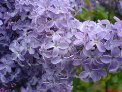 DSC01532 (L. A. Garchi) Tags: grandma woman beauty childhood lg lila glas scent dmcfz20 leonardgarchi lonardgarchi allrightsreservedglas